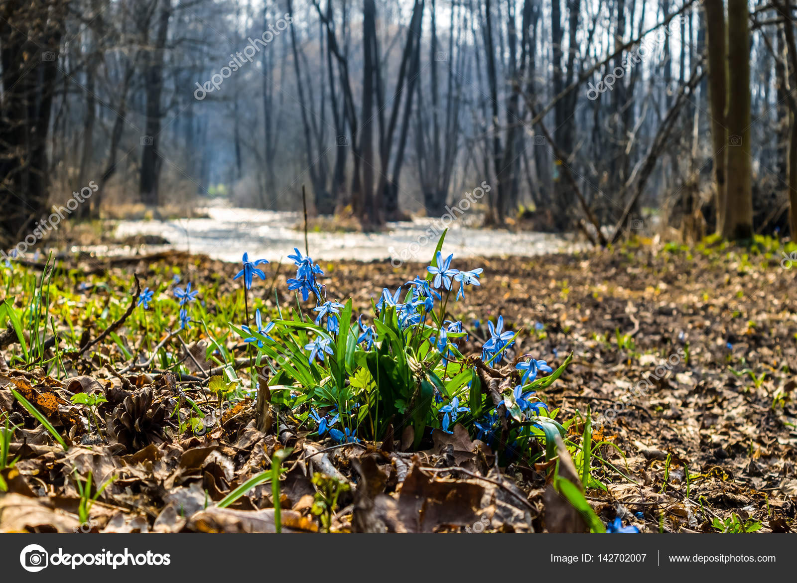Small Blue Spring Flowers In A Forest Stock Photo York76 142702007