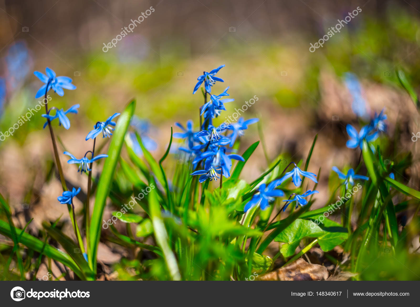 Small Blue Spring Flowers In A Forest Stock Photo York76 148340617