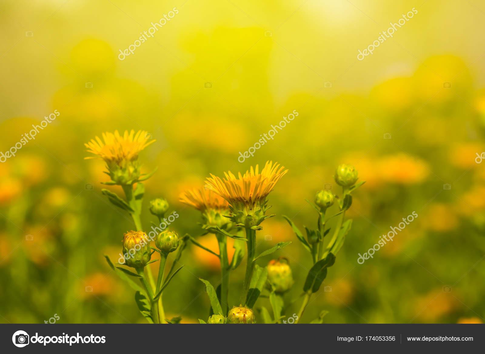 Closeup Yellow Prairie Flowers Sunlight Stock Photo York76