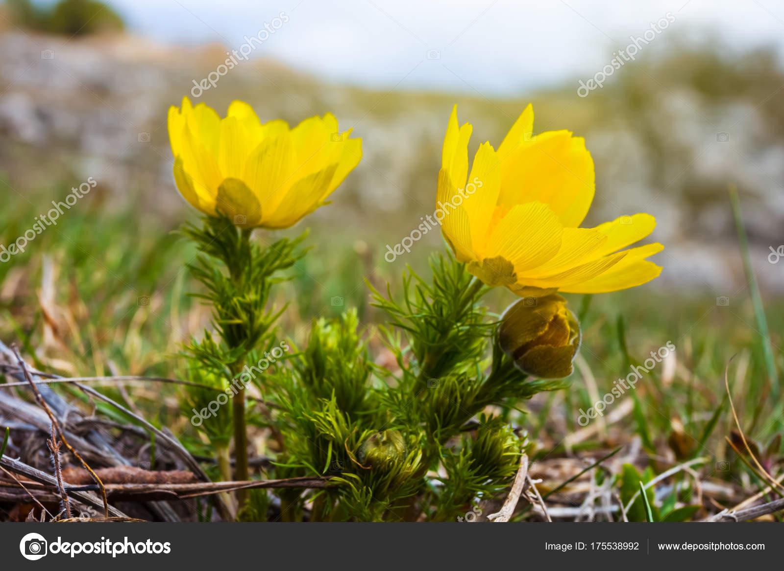 Closeup Yellow Prairie Flowers Stock Photo York76 175538992