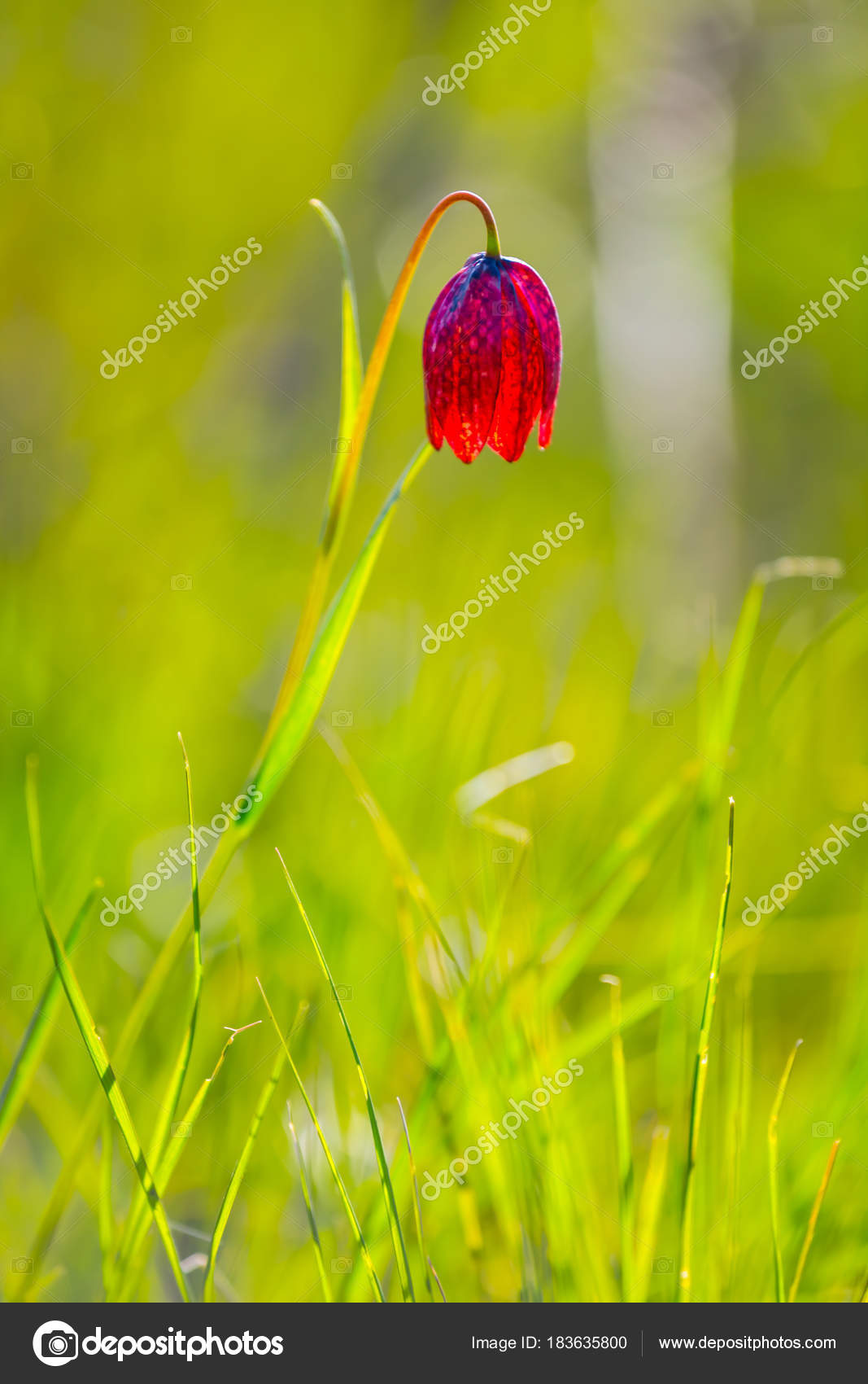 Beautiful Closeup Spring Bell Flower Stock Photo York76 183635800