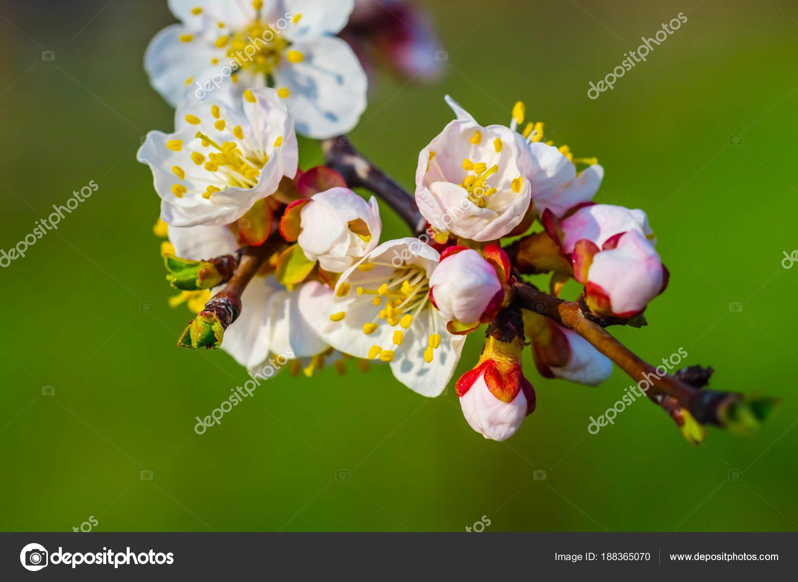 Excelente Los Cerezos En Flor árbol De Diseño De Uñas Ornamento ...