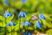 krásná detailní modrá jarní květiny v lese