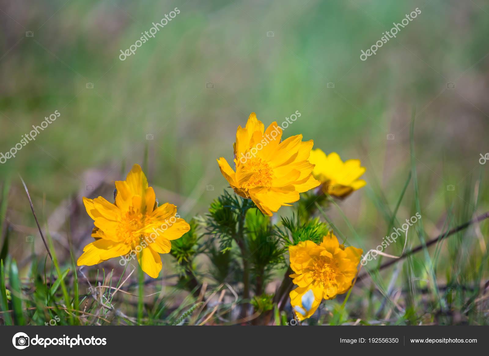 Closeup Heap Yellow Prairie Flowers Stock Photo York76 192556350