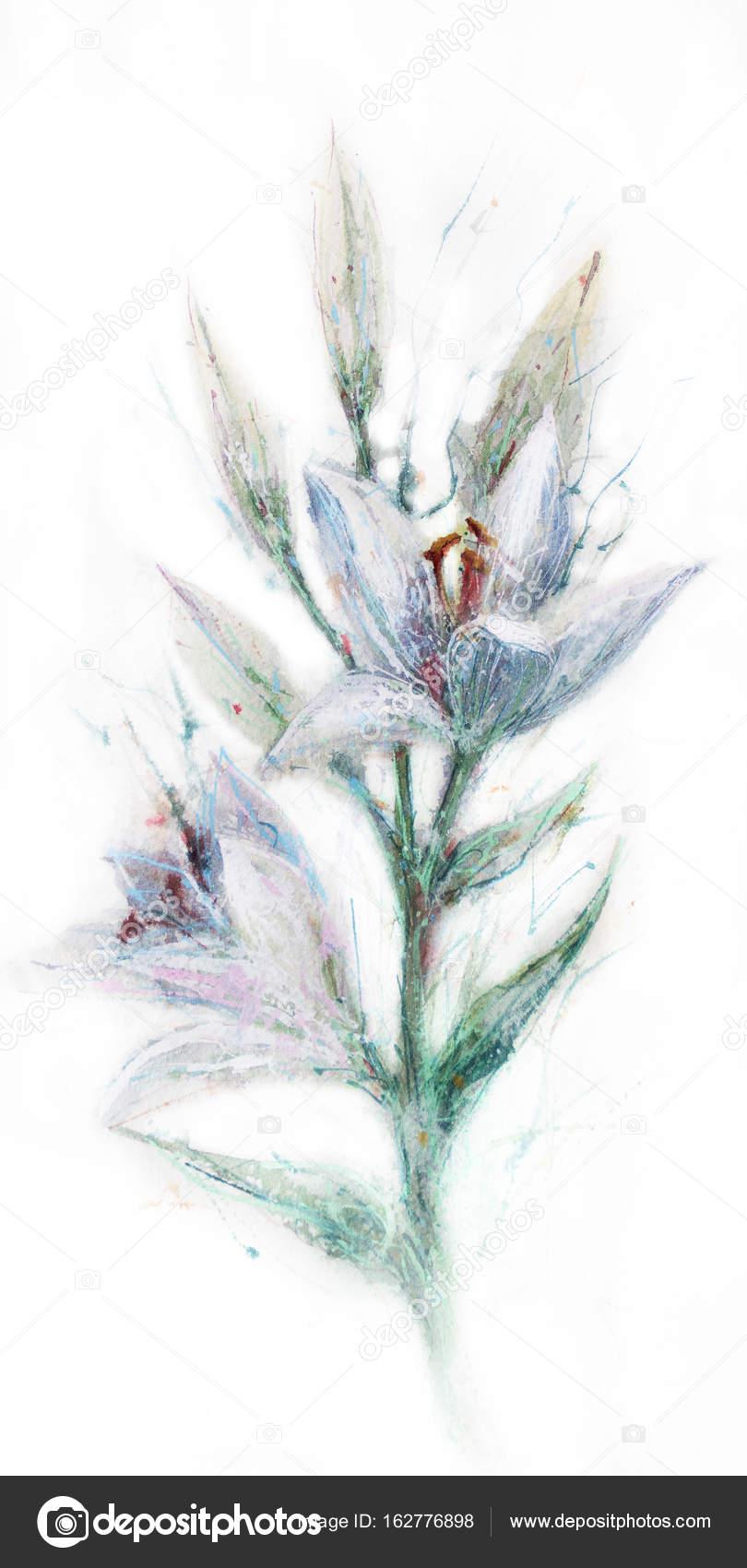 Dessin Fleur Lys Photographie Mir A C 162776898