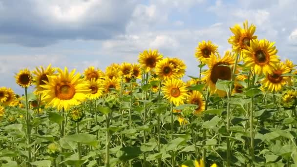 krásná krajina se slunečnice