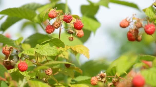 Zralé červené maliny na zahradě