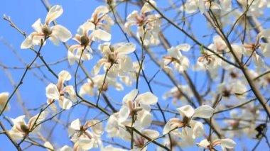 Bílá magnólie květ květiny