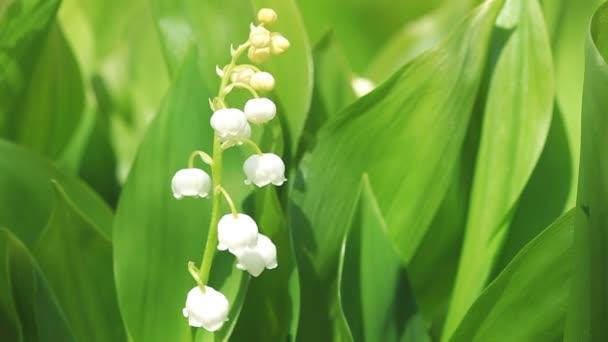 Květiny květy konvalinek