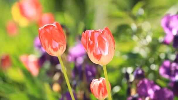 Květy červené tulipány v zahradě