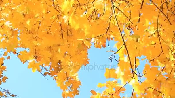 Autumn trees with yellow maple leaves.