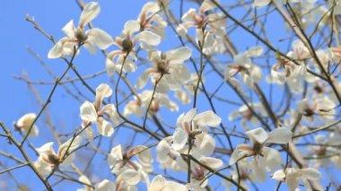 Bílá magnólie květiny proti nebeská modř