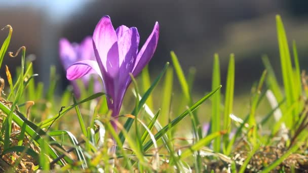 Violet spring crocuses bloom and bright sunlight