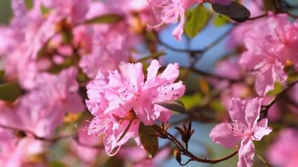 Růžový květ Azalea květiny na jaře