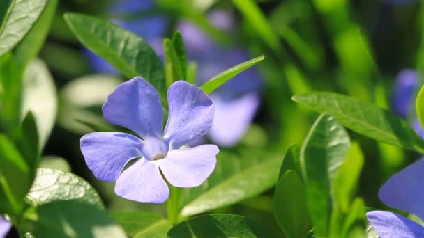 Periwinkle blue flowers blossom in the garden