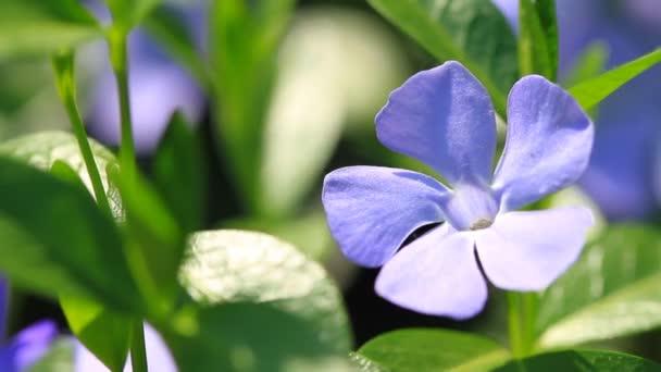 Vinca minor flowers blossom in the garden