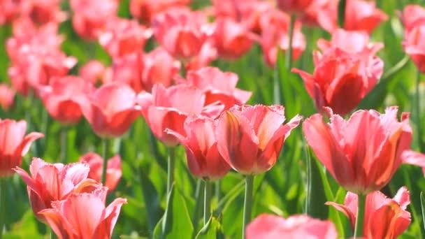 Květy růžové květy tulipánů v poli