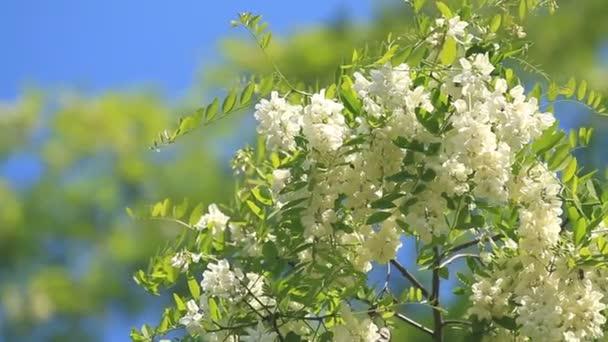Akácie květiny květy na modré obloze