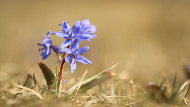 Purple of scilla bifolia flower bloomed in springtime