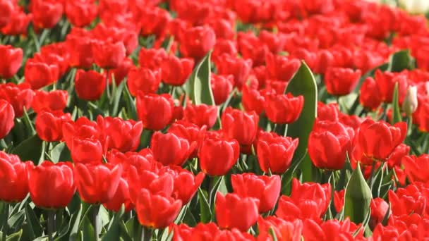 Field with blooming red tulips in spring