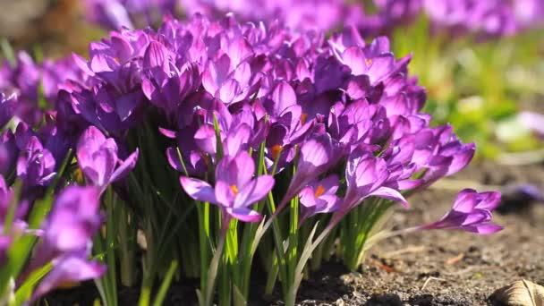 Fialové krokusy kvetou na jaře za slunečného dne