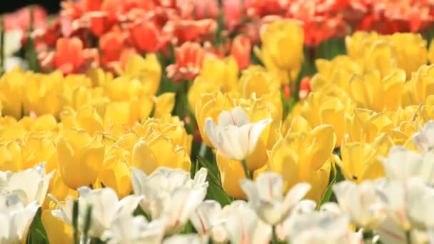White, yellow and red tulips in spring