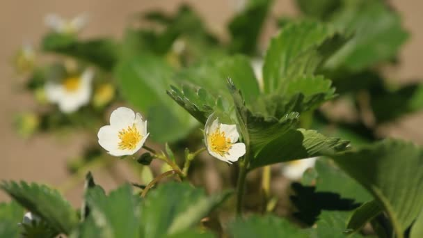 Strawberry flowers bloomed on a plantation in spring