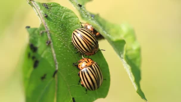 Colorado beetles eat potato leaves on a plantation