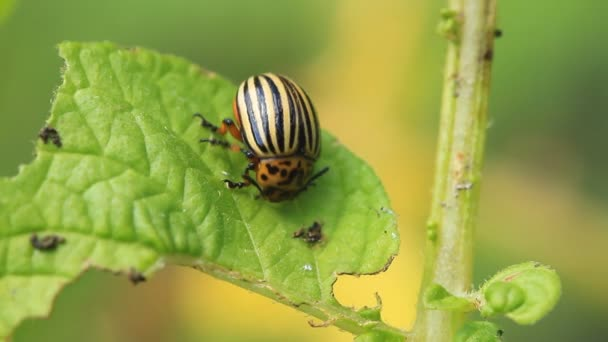 Colorado  beetle eats potato leaf in close-up