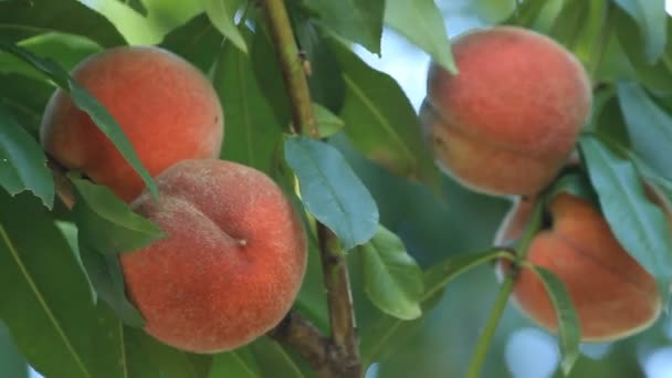 Red ripe peaches with leaves grow on a tree