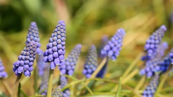 Beautiful Muscari flowers blooming in springtime