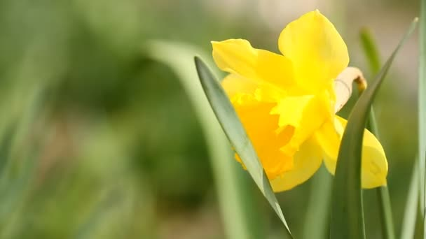 Žluté narcisy kvetly v jarní zahradě