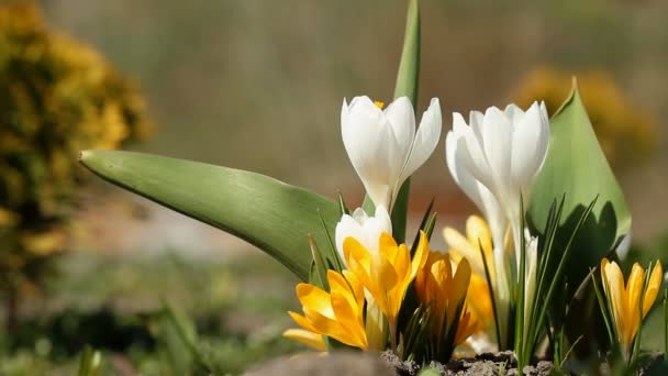 White and yellow crocuses bloomed in spring