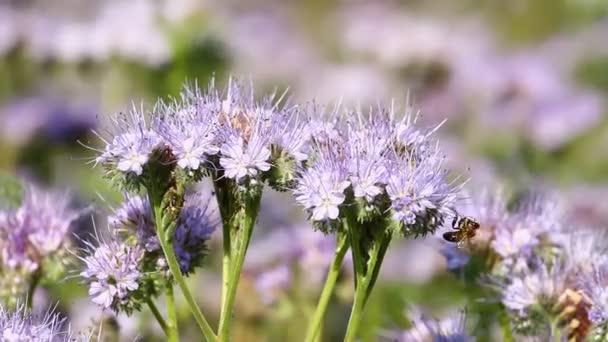 Violet honey flowers phacelia and bee pollinates