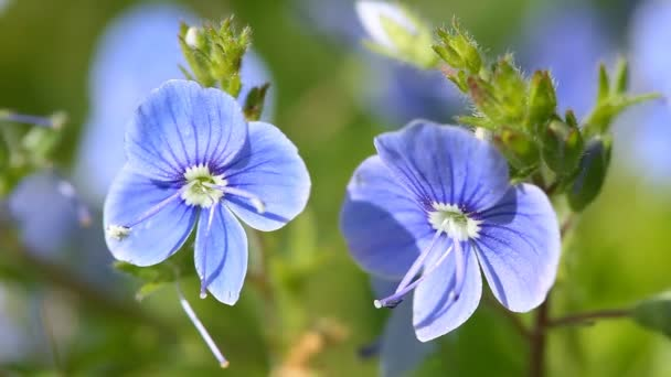 Blue Veronica flowers bloom in the spring time