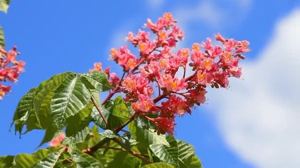 Chestnut flower bloomed in spring against a blue sky
