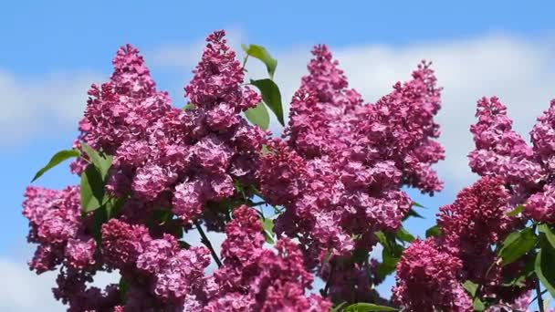 Flowers of Syringa bloomed in the spring time