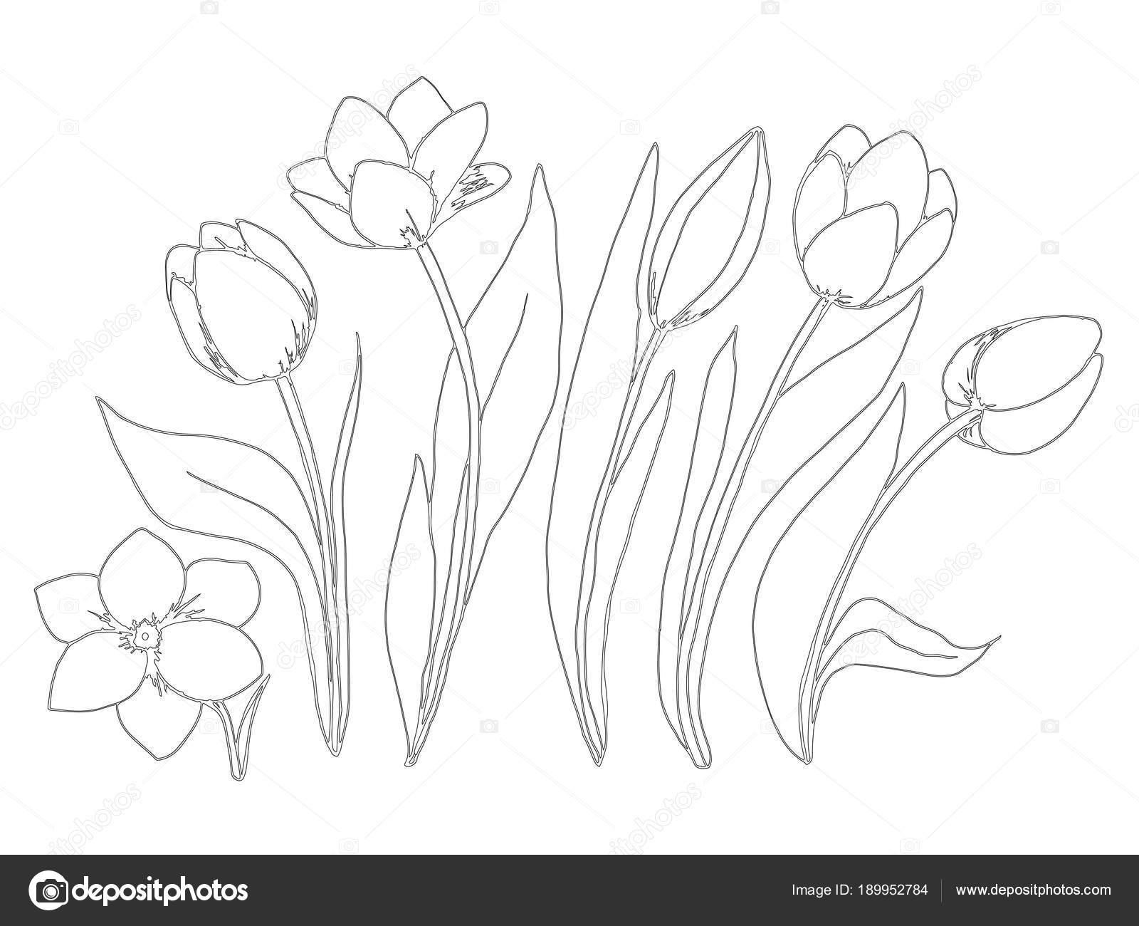 Disegni Da Colorare Fiori Raccolta Pagina Del Tulipano Vettoriali