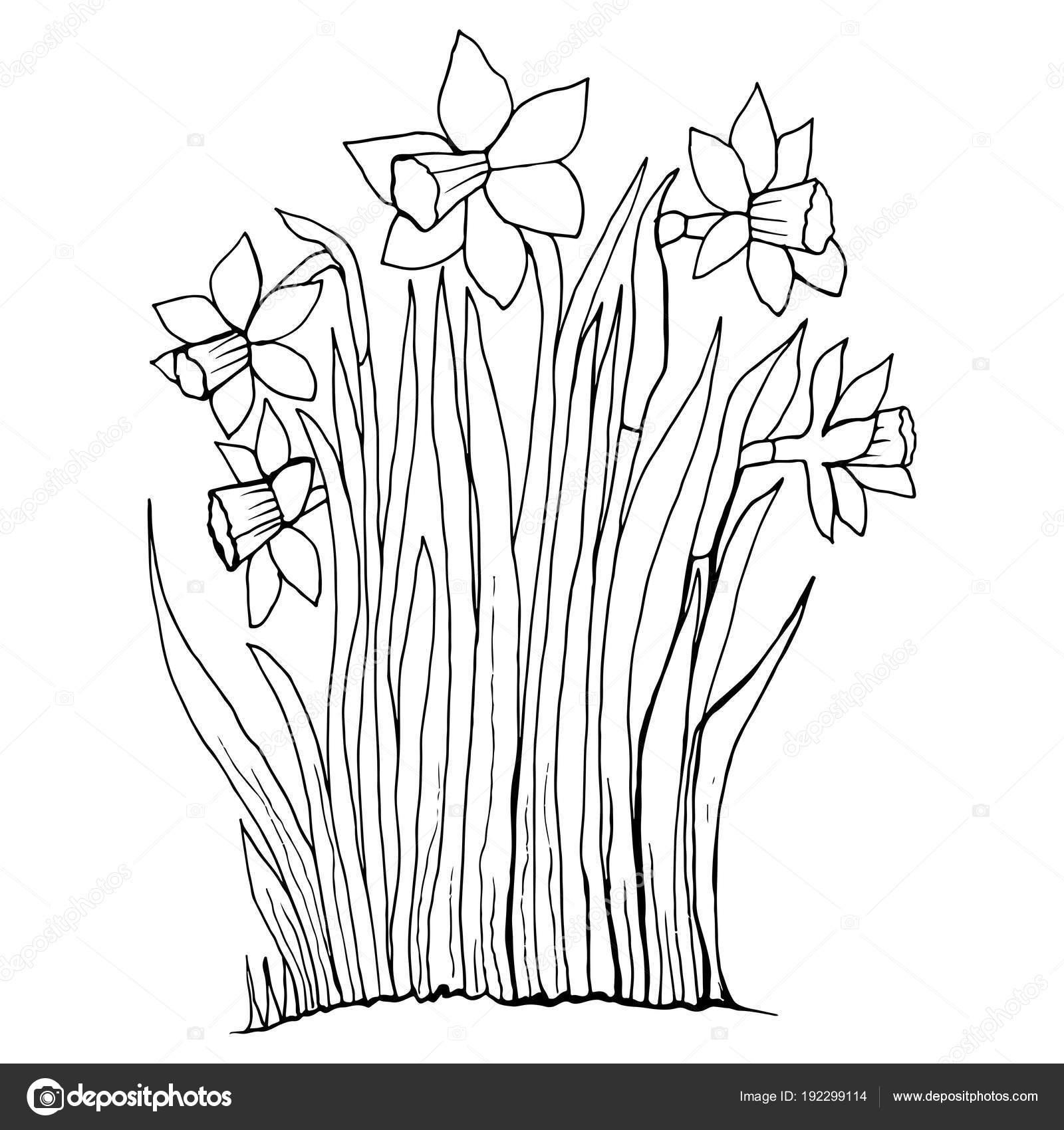 Disegni Da Colorare Fiori Raccolta Pagina Del Narciso