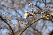 Malebný rozkvetlý květ třešně na větvi s poupaty neotevřených květů zblízka, na rozmazaném pozadí oblohy a větví.