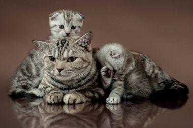 family cat's scottish fold