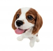 Photo closeup vertical portrait pure-bred dog, puppy Cavalier King Charles Spaniel, on white background, isolated