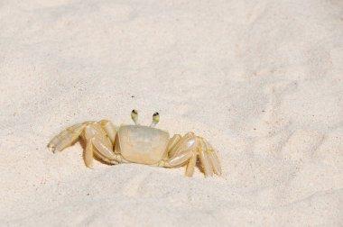Bridgetown, Barbados - Sand crab at Brownes beach - Carlisle bay