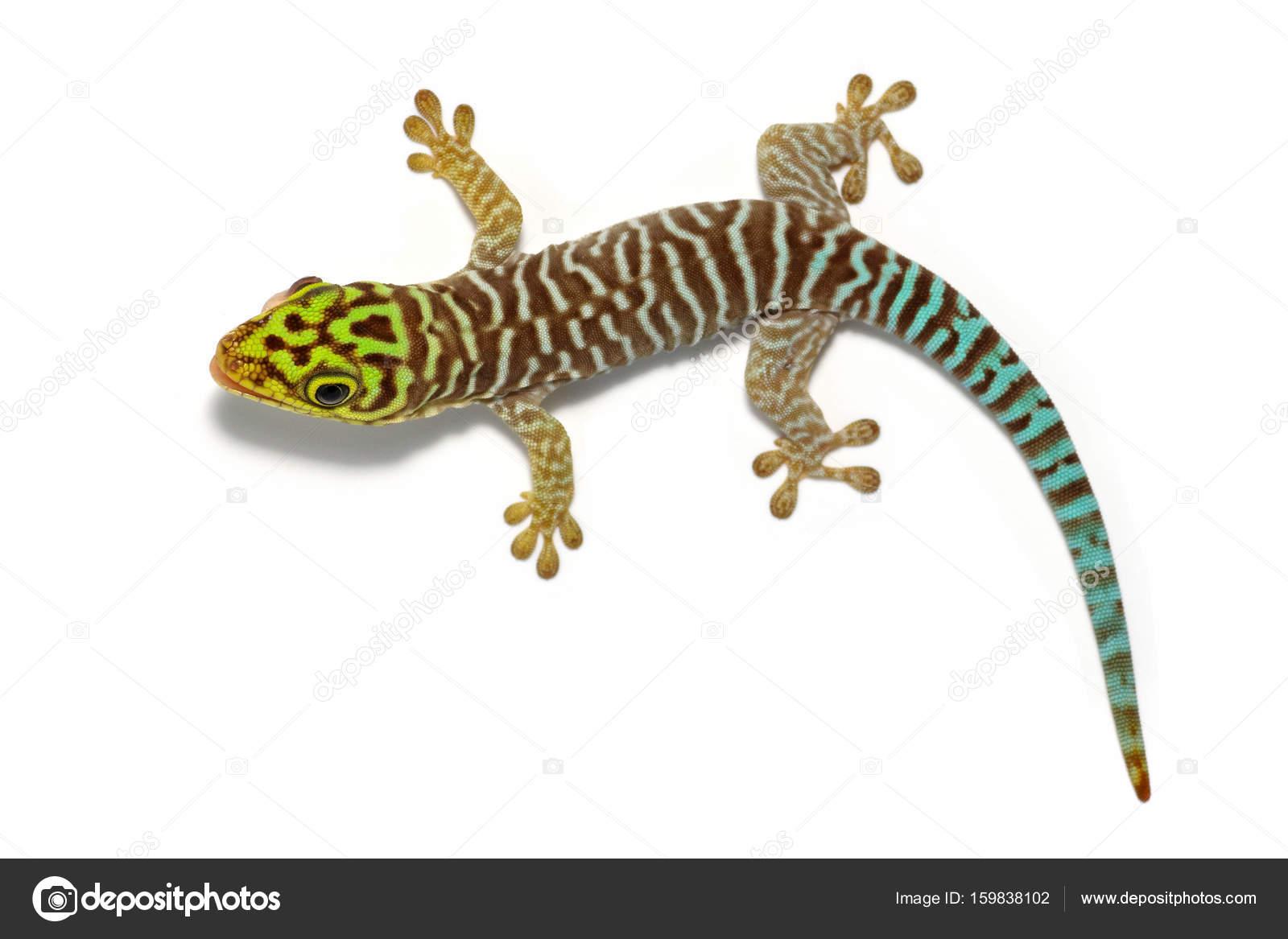 phelsuma standingi gekko stock photo valt ahyppo 159838102