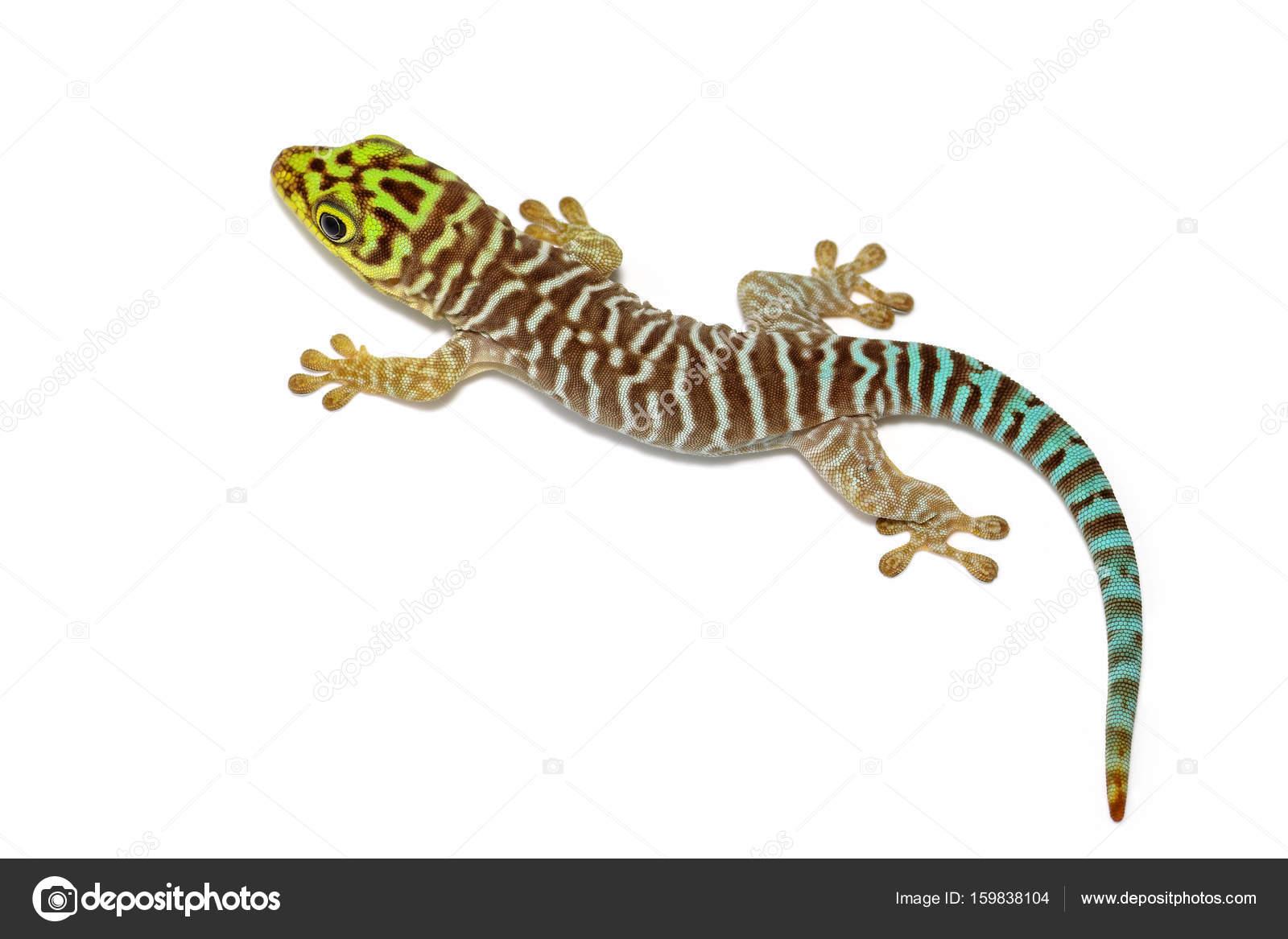 phelsuma standingi gekko stock photo valt ahyppo 159838104