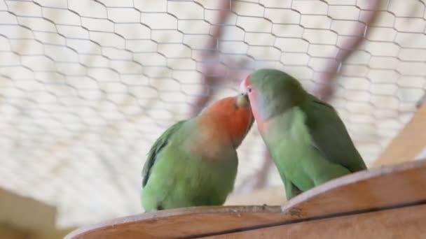 Lovebird papoušky líbání