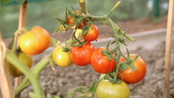 Řezací rajčata ve skleníku