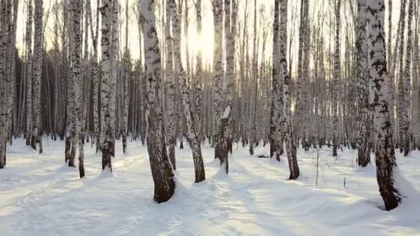 březový háj v zimě