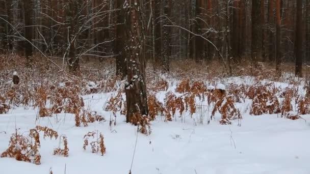 Zasněžené zimní borový les