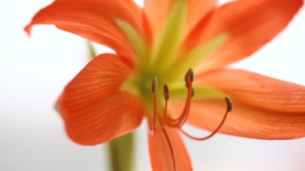 Květina Amarylis květy na bílém pozadí